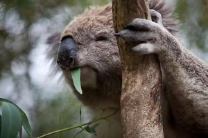 Phillip Island Koala Conservation Centre Entry ticket - Accommodation Perth