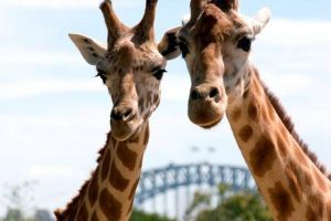 Sydney Harbour Ferry with Taronga Zoo Entry Ticket - Accommodation Perth